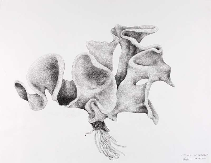 shell jelly fish, 2000, pencil drawing, 75x100 cm.
